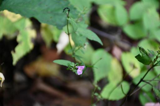 20201010・長野旅行植物10・ミヤマママコナ