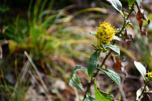 20201010・長野旅行植物17・ミヤマアキノキリンソウ
