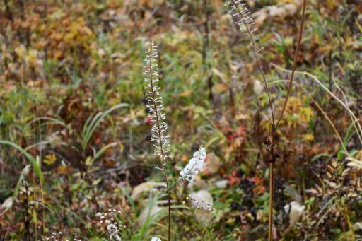 20201011・長野旅行植物22・サラシナショウマ