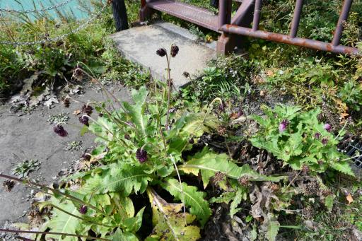 20201011・長野旅行植物20・オヤマボクチ