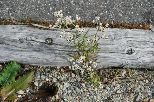 20201011・長野旅行植物19・ヤマハハコ