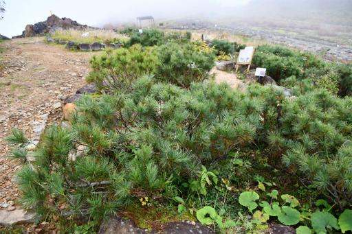 20201011・長野旅行植物34・ハイマツ