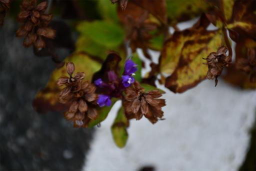 20201011・長野旅行植物47・タテヤマウツボグサ