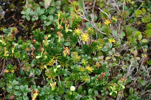 20201011・長野旅行植物46・ミネズオウ(花なし)