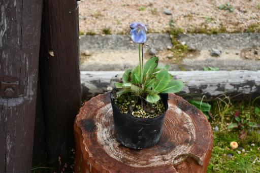 20201011・長野旅行植物52・ヒマラヤの青いケシ