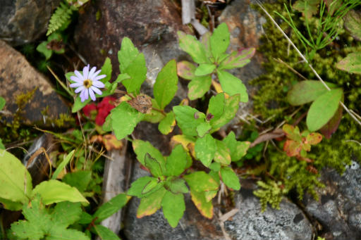 20201011・長野旅行植物49・ヨメナ