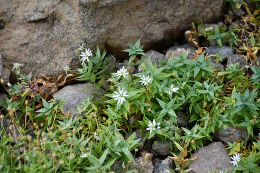 20201011・長野旅行植物56・シコタンハコベ