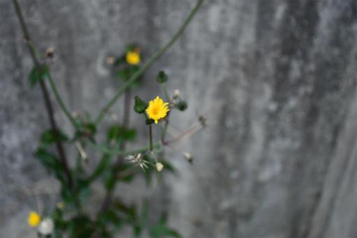 20201211・近所散歩植物06・ノゲシ