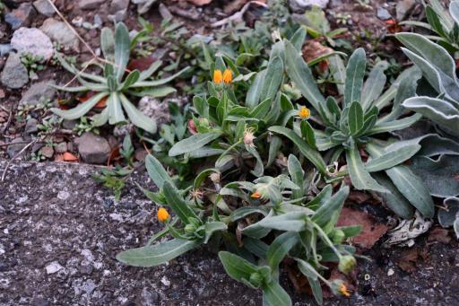 20201211・近所散歩植物04・フユシラズ
