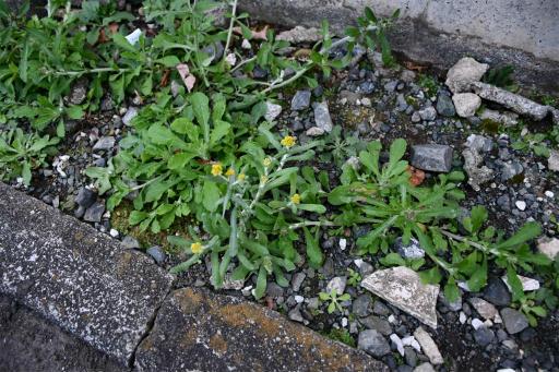 20201211・近所散歩植物02・ハハコグサ