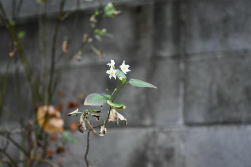20201211・近所散歩植物01・アメリカイヌホオズキ