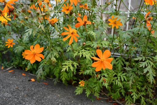 20201211・近所散歩植物12・キバナコスモス