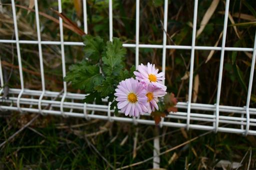 20201211・近所散歩植物11・アカバナサツマノギク