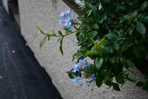 20201211・近所散歩植物10・ルリマツリ