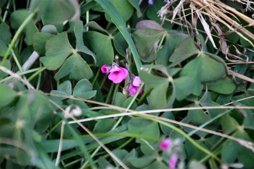 20201211・近所散歩植物09_・イモカタバミ