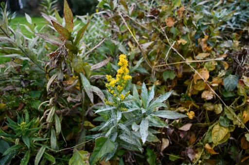 20201211・近所散歩植物16・セイタカアワダチソウ