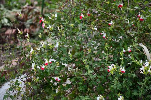 20201211・近所散歩植物15・ホットリップス