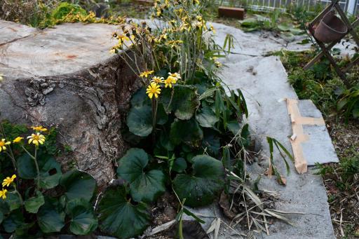20201211・近所散歩植物14・ツワブキ