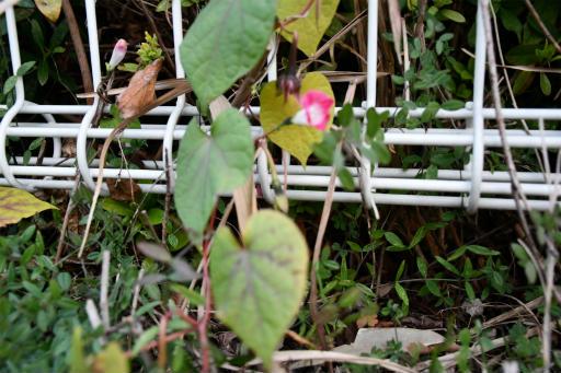 20201211・近所散歩植物13・マルバアサガオ