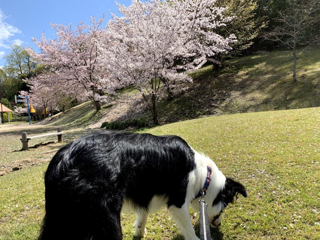 20200405くまちゃんと桜1