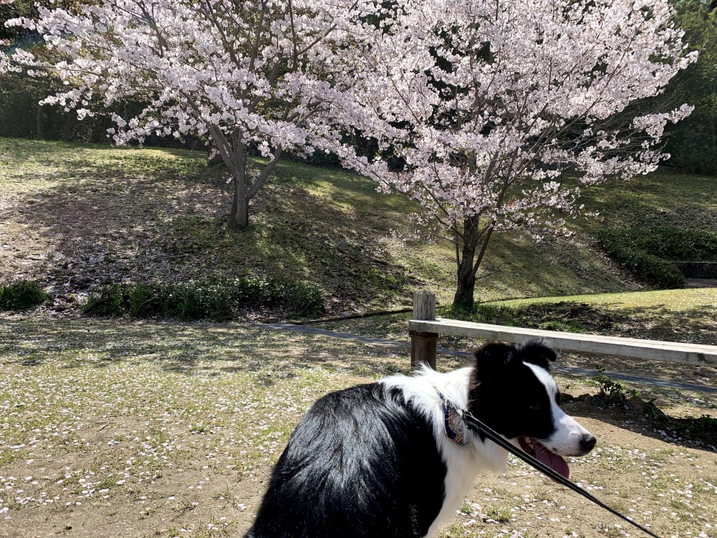 20200405くまちゃんと桜2