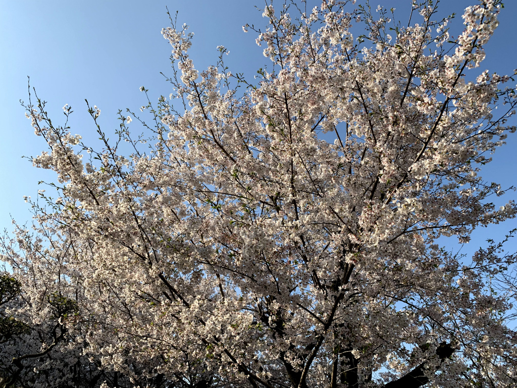 20200404桜