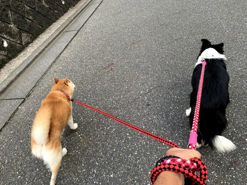 20200919くまちゃんこまちゃん同時散歩6