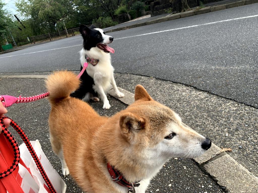 20200919くまちゃんこまちゃん同時散歩4