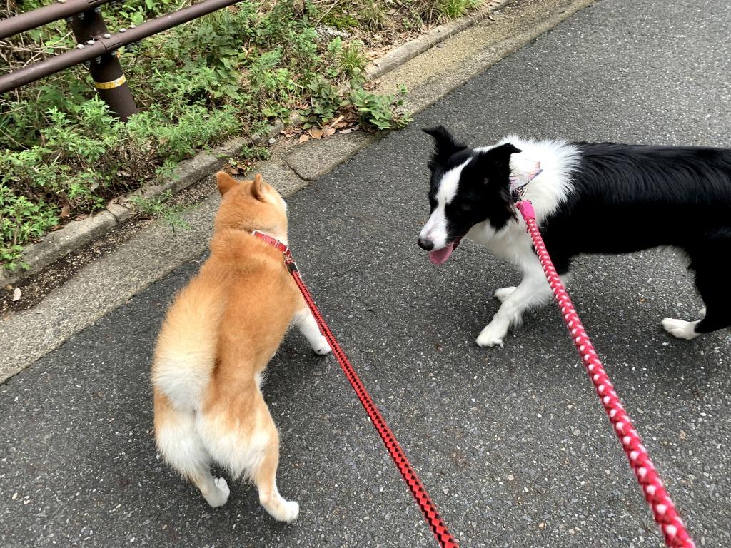 20200919くまちゃんこまちゃん同時散歩1