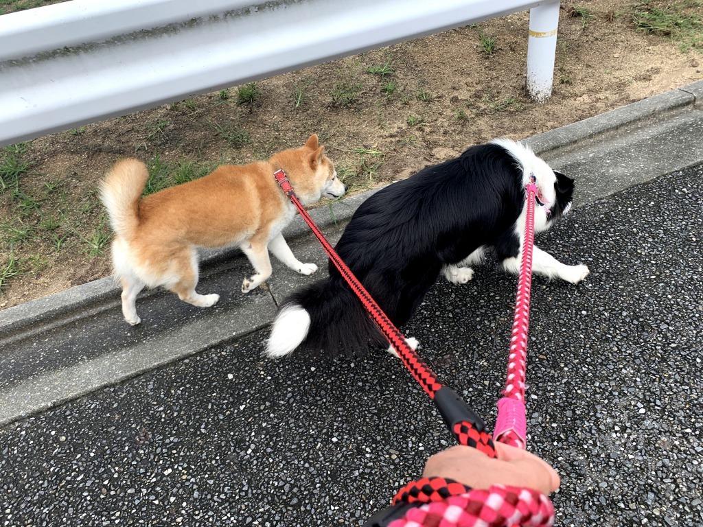 20200918くまちゃんこまちゃん同時散歩4