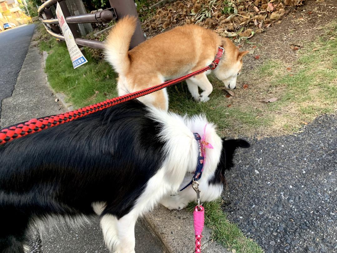 20200928くまちゃんこまちゃん朝散歩
