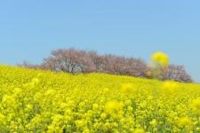 桜・菜の花