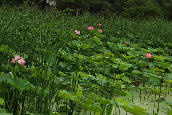 川島町の蓮花 003/2020.07.24