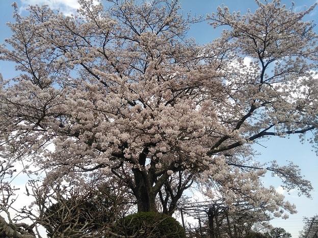 IMG_20200404_桜