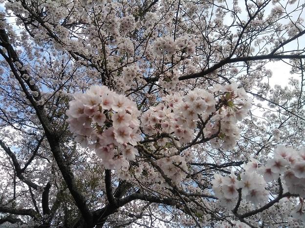 IMG_20200404_桜2