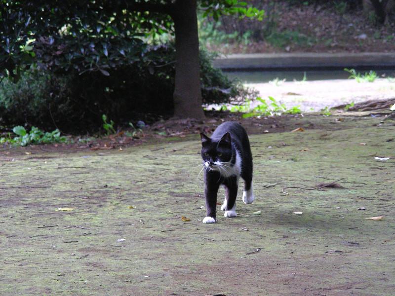 足元まで寄って来た黒白猫1