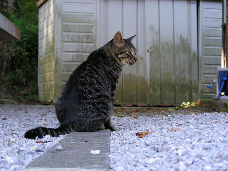 縁石とキジトラ猫