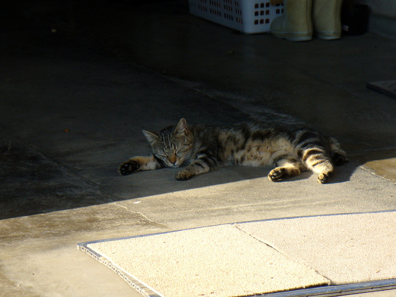 頭寒足熱のキジトラ猫1