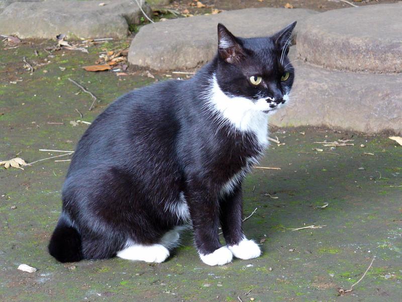 足元まで寄って来た黒白猫2