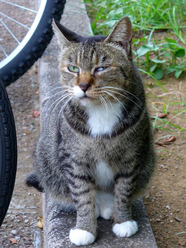自転車とキジ白猫3