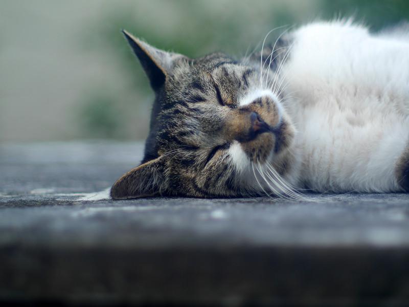 横になって寝ているキジ白猫1