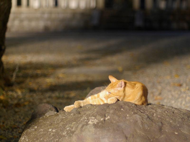 岩の上で寛ぐ茶トラ猫1