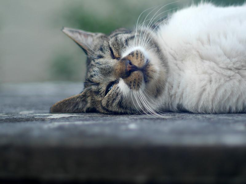 横になって寝ているキジ白猫2