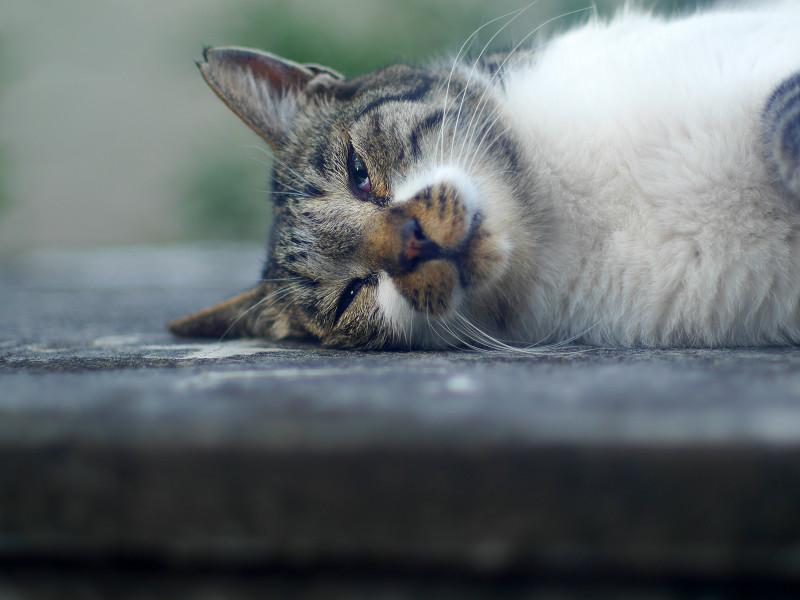 横になって寝ているキジ白猫4
