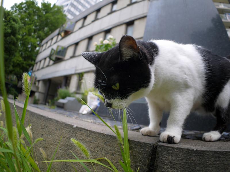 エノコロ草を見つめる白黒猫1