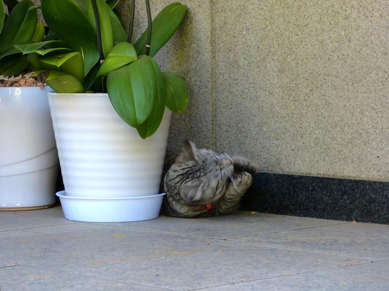 ドングリで遊ぶサバトラ猫2