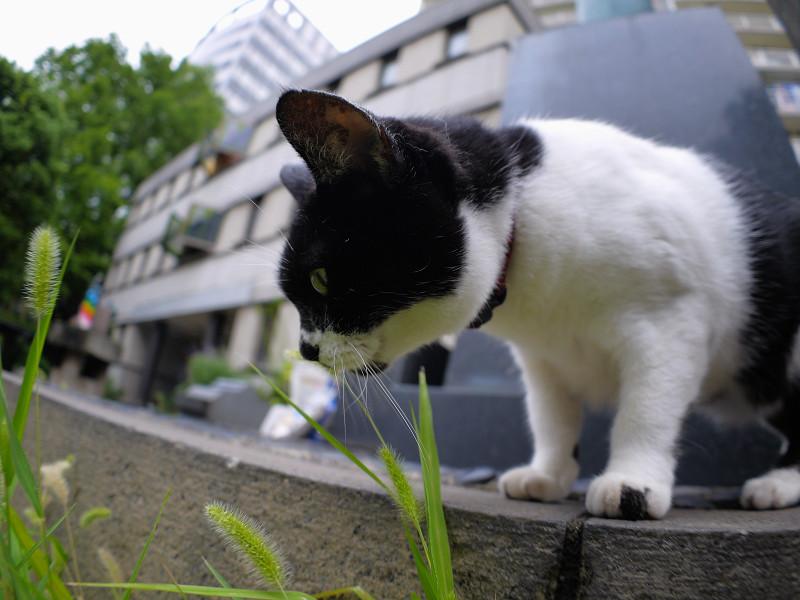 エノコロ草を見つめる白黒猫2