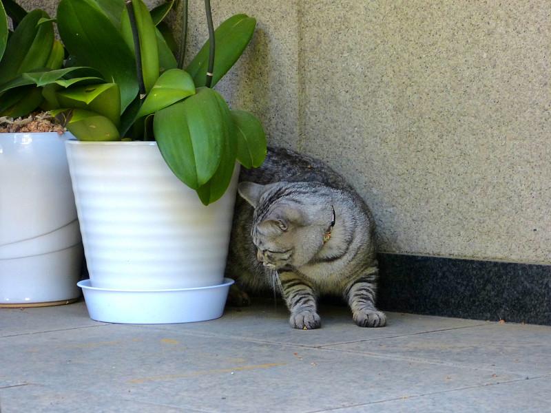 ドングリで遊ぶサバトラ猫3