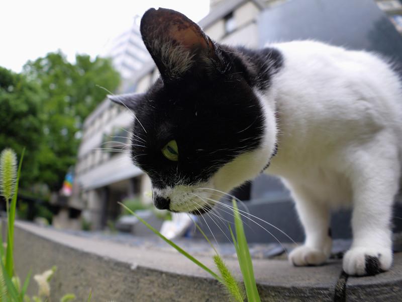 エノコロ草を見つめる白黒猫3