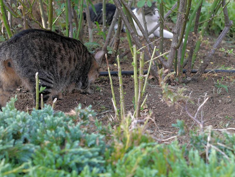 公園の土を掘るキジトラ猫1
